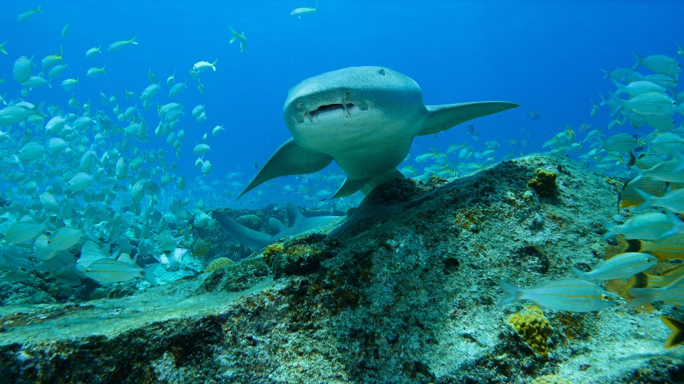 Bahama Blue_Coral Reef_Nurse shark