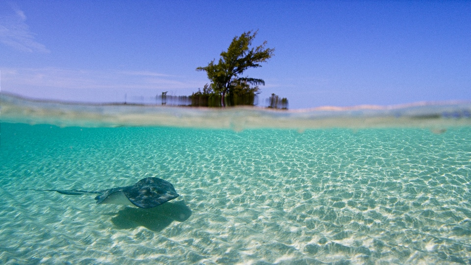 Bahama Blue_Sand_Stingray