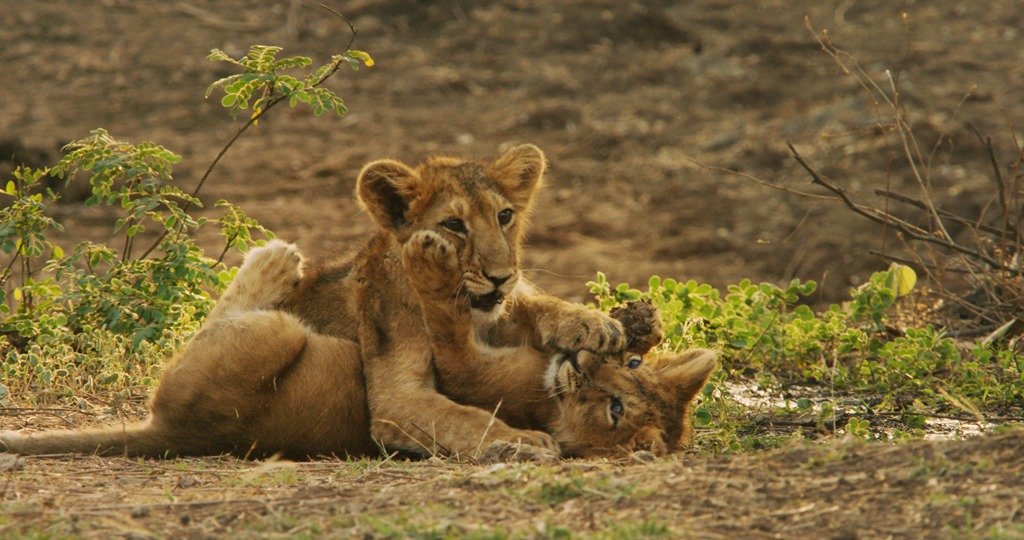 India's Wandering Lions on Discovery Channel 04