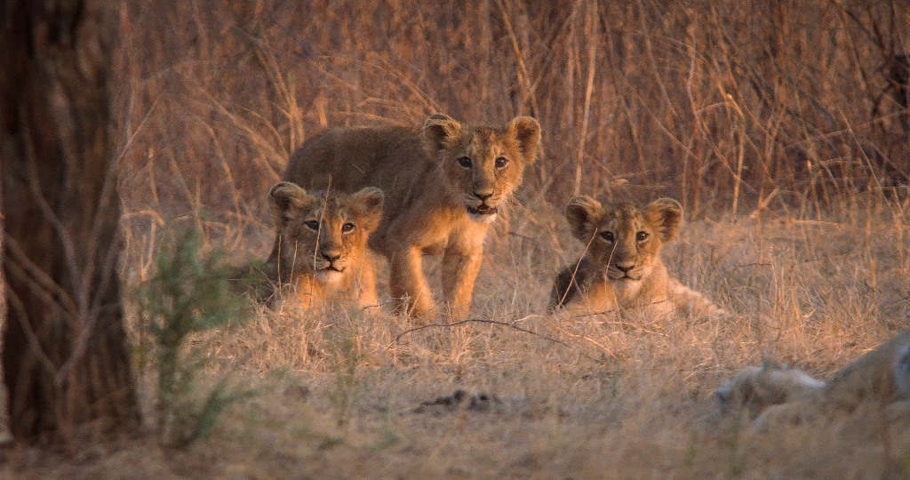 India's Wandering Lions on Discovery Channel 06