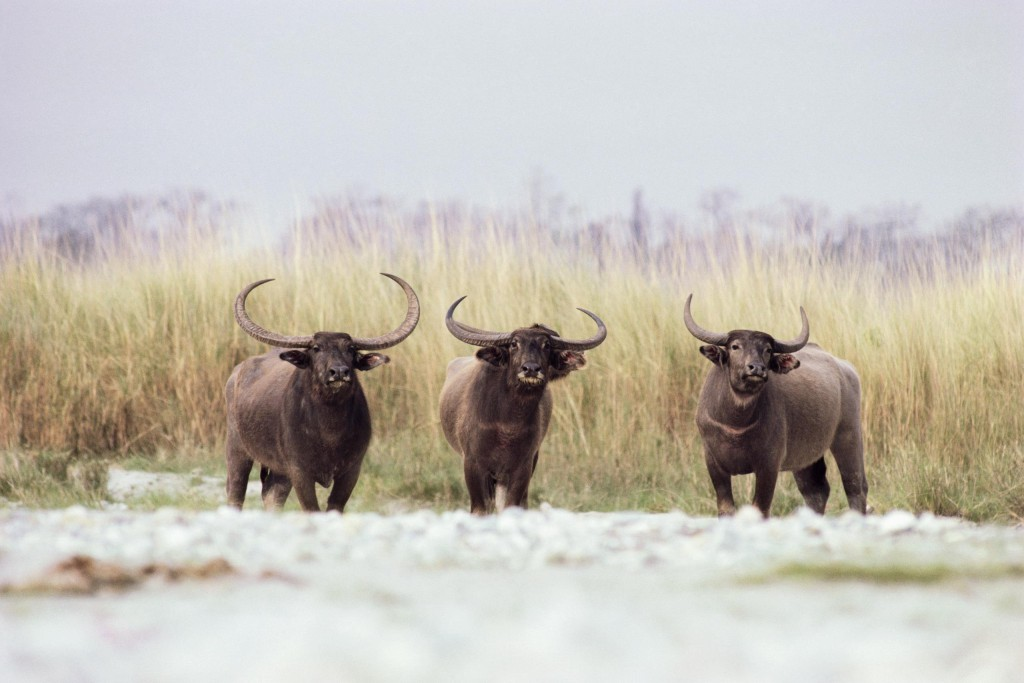 ca. 1990s, Assam, India --- Three Water Buffalo --- Image by © Royalty-Free/Corbis