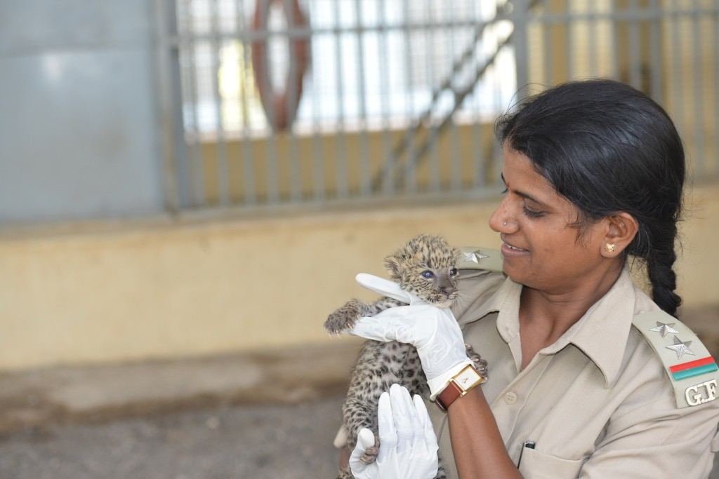 The Lion Queens Of India  Rasila holding a cub